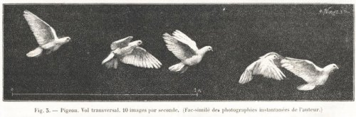 Pigeon. Vol transversal. 10 images par seconde